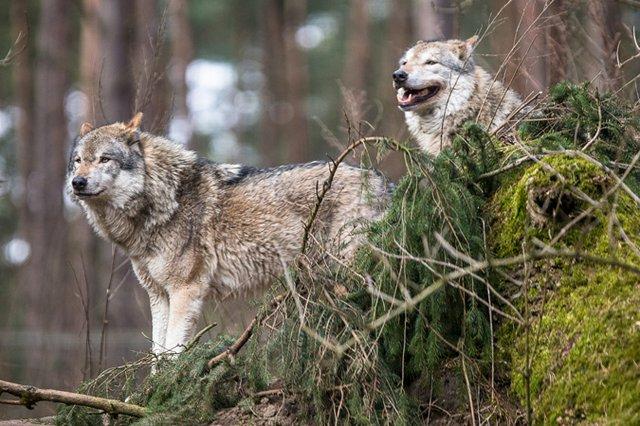 Wolfstag