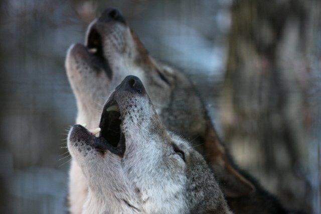 Nachtwanderung Wölfe