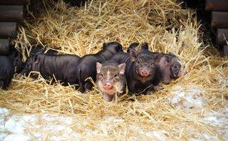 Hängebauchschwein Nachwuchs