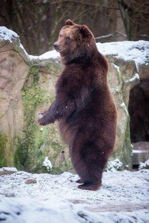 Kamtschatka- Bären