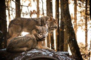 Wölfe im Wildpark Schwarze Berge
