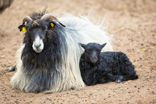 Das Heidschnucken-Lamm