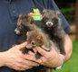 Handaufzucht Marderhunde Steinmarder