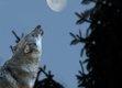 Nacht des Wolfes