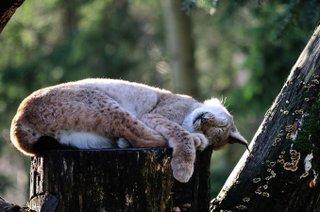 Luchs schlafend auf Baum