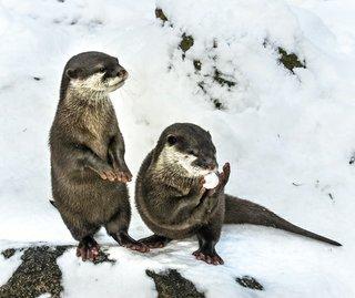 Otter im Winter