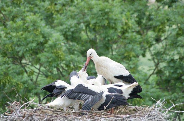 Ein Blick in das Nest von Rolf und Maria mit drei Jungen