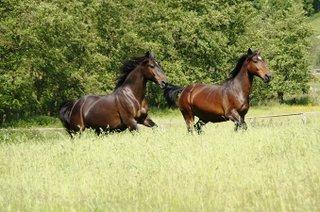 Alt-Oldenburger Pferd