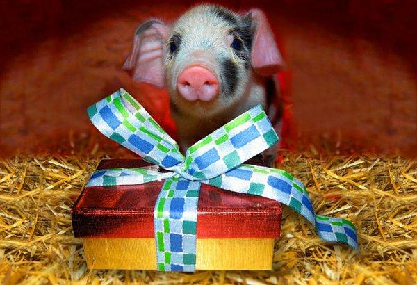 Schwein + Geschenk