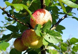 """Sonderausstellung """"Der Apfel. Kultur mit Stiel"""""""