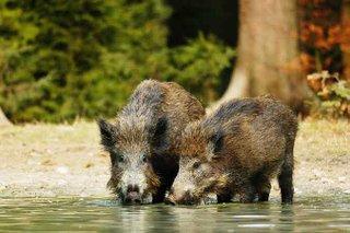 Wildschweine an der Suhle
