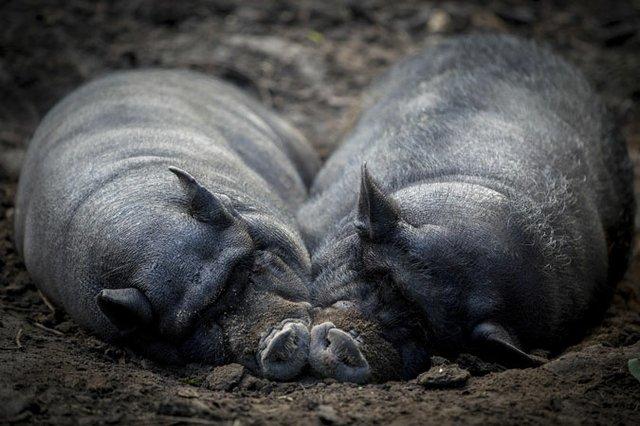 Hängebauchschweine-kuscheln