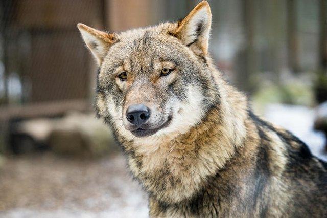 Am Wolfsgehege stellt Wildpark-Wolfs-ExperMn Tanja Askani ihre Grauwölfe vor.