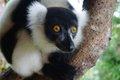 Lemuren Indri