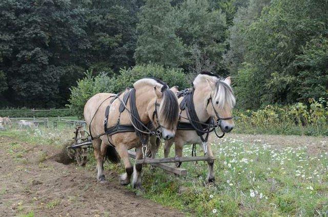 Pferde bei der Feldarbeit am Kiekeberg
