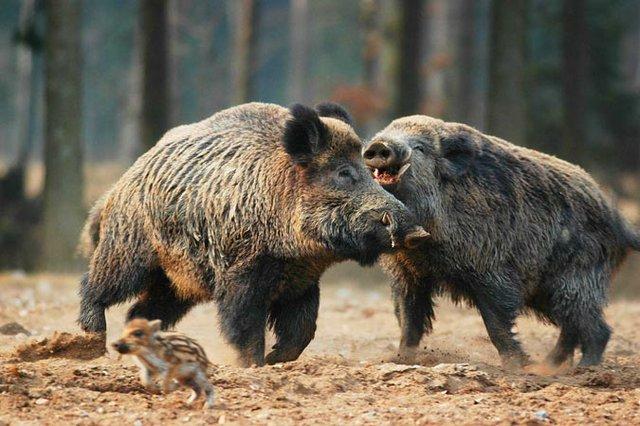 Fam. Wildschwein