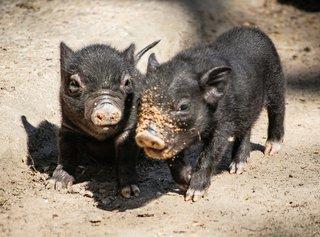 Hängebauchschweinnachwuchs